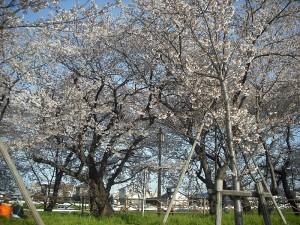 清洲城お花見1
