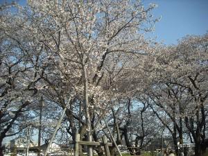 清洲城お花見2